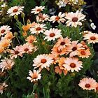 African Daisy Salmon 50 Seeds 50  off sale