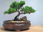 9Greenbox Best Gift Bonsai Juniper Tree 4 Pound