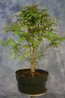 Tropical Mahogany pre Bonsai Tree Great for African style bonsai
