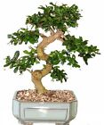 Bonsai Tree LARGE Fukien Tea GREAT GIFT  LIVE TREE