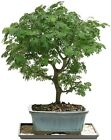 Bonsai Tree Indoor Plant Garden Flowers Decoration Brussels Brazilian Rain Tree