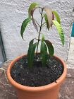 Baby Mango plant Bonsai fine foliage edible tropical bonsai exotic