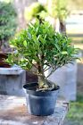 Tiger Bark Ficus Pre Bonsai Tree  Easy Indoors Bonsai