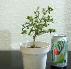 Serissa double white flowering for mame shohin bonsai tree multiple listing