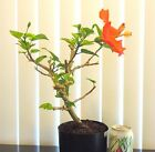 Red Hibiscus for unique flowering shohin mame bonsai tree