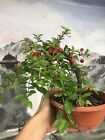 Dwarf Barbados Cherry Pre Bonsai tree