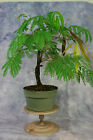 Mimosa Pre Bonsai Tree with Seeds White Flowers