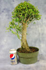 Large Collected Nia buxifolia Pre Bonsai Tree Tiny leaves