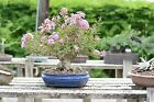 Styled Crepe Myrtle Bonsai Tree from Wigerts Private Collection