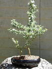Mount Fuji Serissa Snow Rose Bonsai Tree Flowers 35