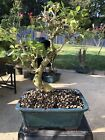 Chinese Privet Bonsai 4
