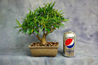 Shohin Styled Willow Leaf Ficus Bonsai Tree Easy Indoor Bonsai