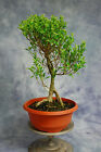 Shohin Melon Seed Ficus Pre Bonsai Tree Tiny leaves