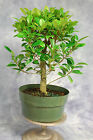 Ficus kaneshiro Pre Bonsai Tree Easy Indoor Bonsai