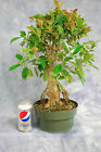 Ficus retusa Cuban Laurel Red Leaf Pre Bonsai Tree