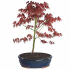 Bonsai Japanese Red Maple Tree Live Yard Plant Decor Home Garden Beautiful Color