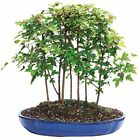 Bonsai Trident Maple Forest 7 Tree 3 year Height 8 14 Home Garden Office Decor