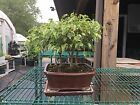3 Tree Ficus Starter Bonsai