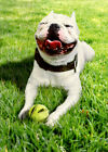 Smiling Dog With Ball Funny Birthday Card Greeting Card by Avanti Press