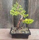 Bonsai Tree Juniper Shohin Movement Indoor Outdoor