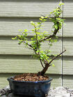 Flowering Sweet Plum Bonsai Tree Flowers 61