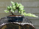 Bonsai Japanese Dwarf Juniper Bonsai Tree 11j