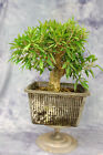 Amazing Willow Leaf Ficus pre bonsai
