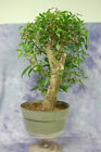 Large Laurel Oak Bonsai tree  Cold Hardy Easy to Grow Carving material