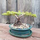 Bonsai Tree Juniper Shohin Movement Indoor Outdoor JaysBonsaiTrees