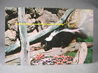 Skunk photographic postcard Scenic Art  photo by Wm L Van Allen