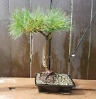 Japanese Black Pine Bonsai Tree 25yrs Old Chuhin Nebari Movement JaysBonsaiTrees