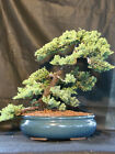 OLD Specimen Bonsai Japanese Dwarf Juniper Bonsai Tree 1664