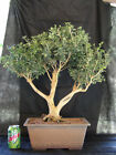 Korean Boxwood Forest Bonsai Tree 52