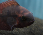 Chocolate Cichlid (Hypselecara temporalis) - South American Live Tropical Fish