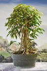 Gorgeous FICUS PHILIPPINENSIS Pre Bonsai Tree