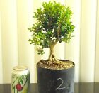 Dwarf Japanese boxwood for mame shohin bonsai tree exposed roots 2