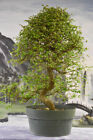 Twisted Trunk IMPORT CHINESE ELM Pre Bonsai Tree