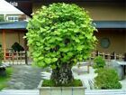 Gingko Biloba Bonsai Seeds 10 Seeds Pack Beautiful Green Ornamental Leaves Tree