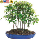 Brussels Trident Maple Forest 7 Tree Bonsai X Large Outdoor