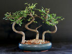 Chinese Elm FOREST Bonsai Tree 199