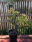 15 Pre Bonsai Tree Chinese Elm
