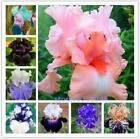 100 Pcs Iris Seeds Iris Orchid Rare Heirloom Tectorum Perennial Flower Seed NEW
