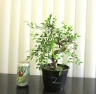 Fat Chinese Elm for mame shohin bonsai tree thick curving trunk 2