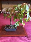 Japanese Maple Informal Upright 13 Bonsai Tree