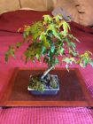 Japanese Maple Root Over Rock 12 Bonsai Tree