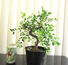 Fat Chinese weeping Elm for mame shohin bonsai tree thick curving trunk 2
