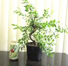 Fat Chinese weeping Elm for mame shohin bonsai tree thick curving trunk 1