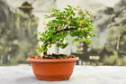 Pink Flowering DWARF BARBADOS CHERRY Pre Bonsai Awesome nebari and fruit
