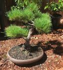 Japanese Black Pine Bonsai Old