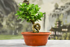 Shohin Banyan Ficus GREEN GEM Pre Bonsai produces aerial roots